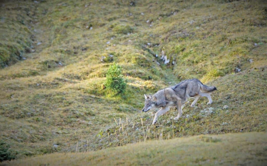 Un des loups de la meute du Marchairuz (Photo : Jean-François Dupertuis)