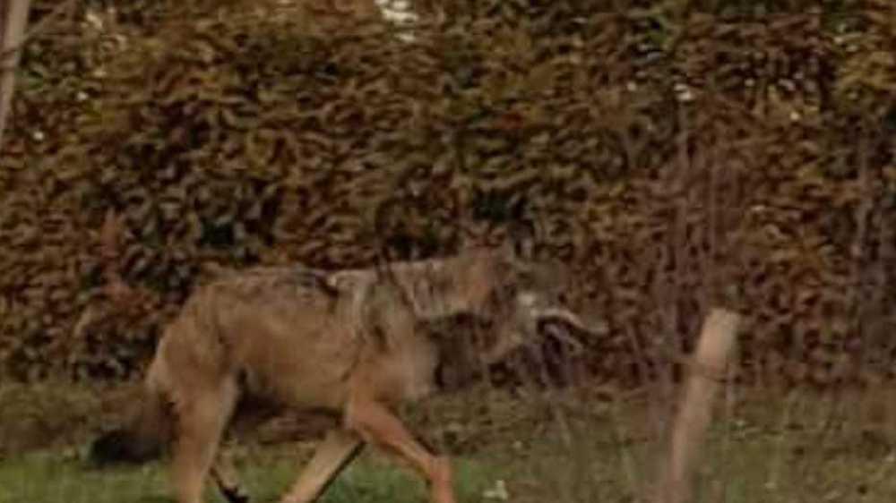 Le canidé filmé au milieu d'habitations de Grimisuat est un loup. Verdict posé par Yvon Crettenand, biologiste auprès du Service de la chasse, de la pêche et de la faune de l'Etat du Valais. LDD